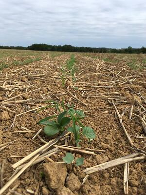 colza-levee-implantation-surveiller-vigueur-homogene-heterogene-probleme-semis-peuplement-biomasse