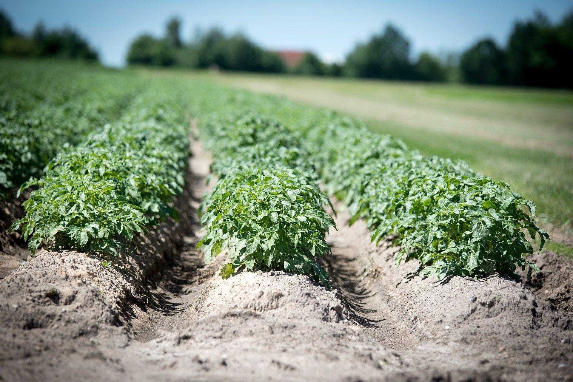 champ-pommes-de-terre-levee-taux-couverture-germination-controle-buttage