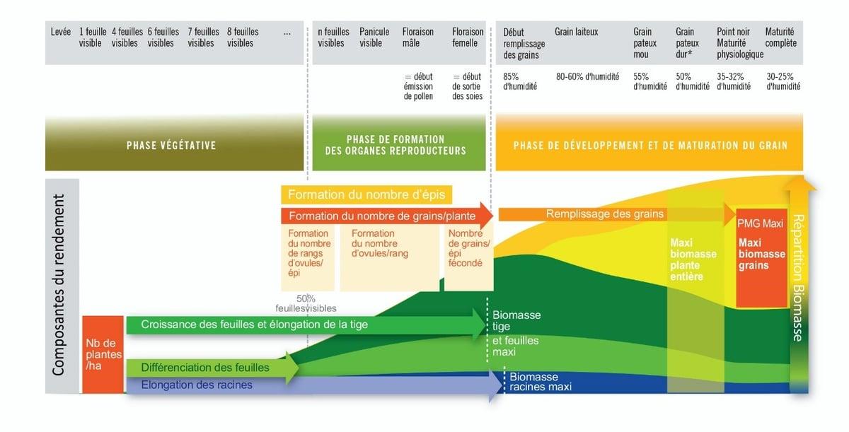 maïs-stades-croissance-biomasse-composante-rendement-