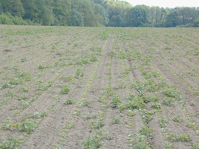Repousses pommes de terre